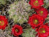 Claret Cup Cactus Flowering on Gooseberry Mesa  Utah  USA
