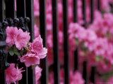 Azalea Blossom  Charleston  South Carolina  USA