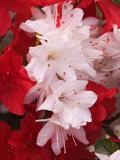 Red and White Azaleas  Townsend  Tennessee  USA