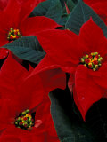 Red Poinsettia  Washington  USA