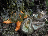 Orange Sea Star and Giant Green Anemones  Shi Shi Beach  Olympic National Park  Washington  USA