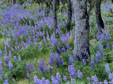 Lupine and White Oak in the Columbia Gorge  Oregon  USA