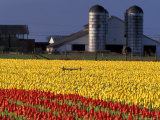 Field of Tulips and Barn with Silos  Skagit Valley  Washington  USA