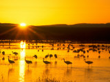 Sandhill Crane Sunrise  Bosque del Apache  New Mexico  USA