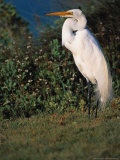 Great Egret  Texas  USA