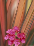 Verbena and New Zealand Flax  Sammamish  Washington  USA