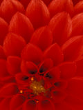 Red Dahlia Petals  Bellevue Botanical Garden  Washington  USA