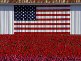 US Flag on Barn and Tulip Field  Skagit Valley  Washington  USA