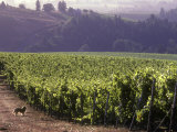 Dog in Knutsen Vineyard  Dundee  Willamette Valley  Oregon  USA
