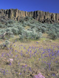 Blooming Phlox  Larkspur and Columnar Basalt  Columbia Natonal Wildlife Refuge  Washington  USA