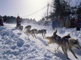 Sled Dog Team Starting Their Run on Mt Chocorua  New Hampshire  USA