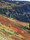 Autumn Color on Mountain Slope  Mt Rainier National Park  Washington  USA