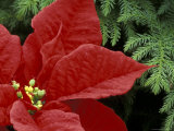 Red Poinsettia and Fir Bow  Washington  USA