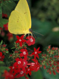 Cloudless Sulphur on Red Star Duster  Woodland Park Zoo  Washington  USA