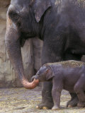 Mother Elephant Helps Feed Calf  Oregon Zoo  Portland  Oregon  USA
