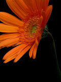 Gerbera Daisy  Washington  USA