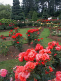 Rose Garden of the Woodland Park Zoo  Seattle  Washington  USA