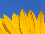 Sunflower in Blue Sky  Seattle  Washington  USA