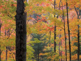 Northern Hardwood Forest in Fall  Green Mountain National Forest  Vermont  USA