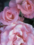 Pink Roses in the Bellevue Botanical Garden  Bellevue  Washington  USA