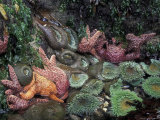 Sea Stars and Giant Green Anemones  Shi Shi Beach  Olympic National Park  Washington  USA