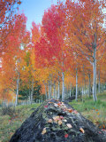 Red Aspen Grove  Boulder Mountain  Dixie National Forest  Utah  USA