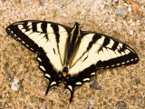 Canadian Tiger Swallowtail Butterfly on a Dirt Road  Northeast Kingdom  Vermont  USA