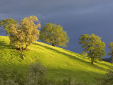 Oak Trees on Hillside near Roseburg  Oregon  USA