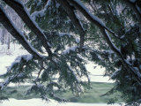 Snow and Eastern Hemlock  New Hampshire  USA