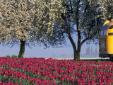 Tulip Fields  Skagit Valley  Washington  USA