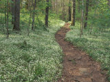 Footpath through Fringed Phacelia Flowers  Great Smoky Mountains National Park  Tennessee  USA