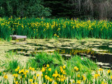 Daffodils Surround a Dock and Lake near Rosario Resort  San Juan Island  USA