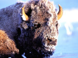 Rocky Mt Bison  Yellowstone National Park  Wyoming  USA