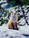 Red Fox on Snow Bank  Mt Rainier National Park  Washington  USA