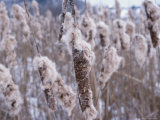 Close-up of Cattails