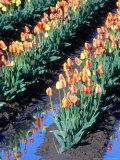 Red-Yellow Tulips  Washington  USA