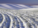 Wheat Field in Wintertime  Walla Walla County  Washington  USA