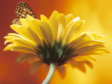 Beautiful Monarch Butterfly on Blooming Daisy