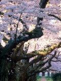 Cherry Blooms at the University of Washington  Seattle  Washington  USA