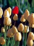 Red Tulip  Washington  USA