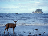 Black-Tailed Deer  Doe on the Beach at Cape Alava  Olympic National Park  Washington  USA