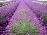 Lavender Field  Sequim  Washington  USA