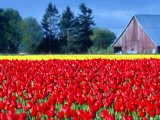 Tulip Field  Washington  USA