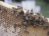 Close-up of Honeybees on Sweet Honeycomb