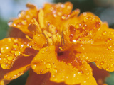 Dew on Blooming Orange Flower