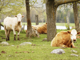 Lazy Cows on a Farm