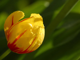 A Single Bright Yellow and Red Tulip