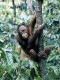 Young Orangutan Climbing a Tree