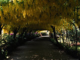 Bodnant Garden  Laburnum  Wales