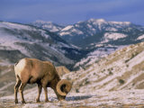 Bighorn Sheep  Yellowstone National Park  WY